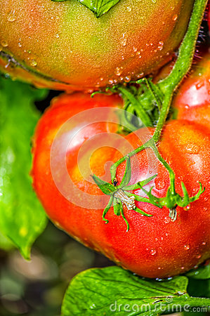Red tomatoes in the dew