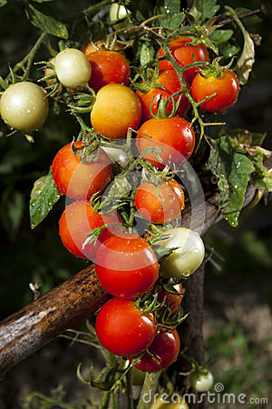 Red tomatoes and green leafes