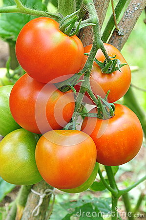 Red tomatoes grow in the garden