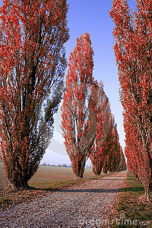Red Tree-lined avenue in Italy