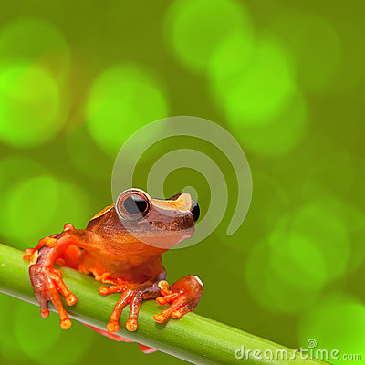 Red tropical exotic tree frog