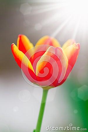 Red tulip.