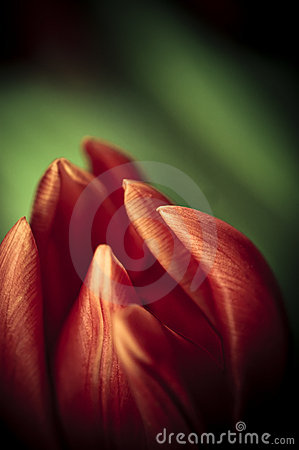Free Red Tulip Royalty Free Stock Photography - 2927717