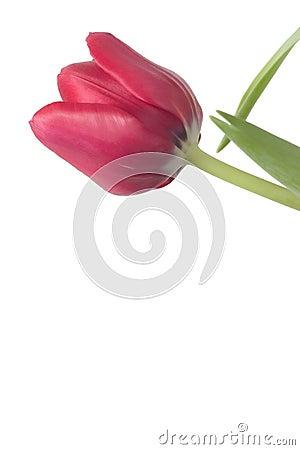 Red Tulip Copyspace 1