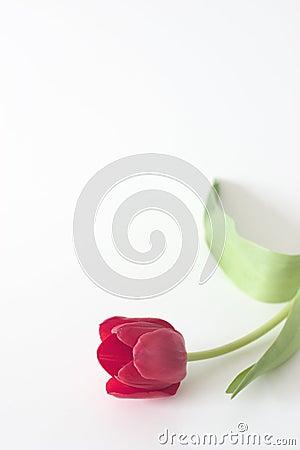 Red Tulip Copyspace 2