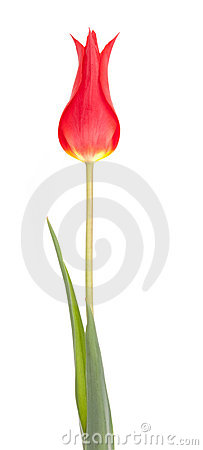 Free Red Tulip Flower Stock Photos - 19387683