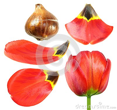 Free Red Tulip Flower With Tulip Bulb And Petals Closeup Isolated On White Stock Photography - 101834572