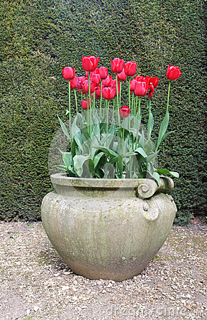 Red Tulip Flowers in Antique Vase