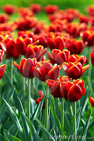 Free Red Tulip Flowers Field Royalty Free Stock Images - 4248709