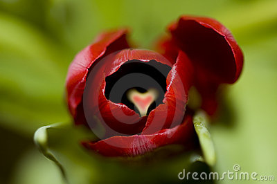 Red tulip with heart