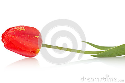 Red tulip with reflection