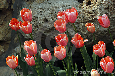 Red tulip and rock.