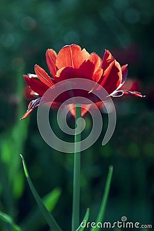Red tulip in sunny day.