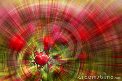 Red tulip with zoom background