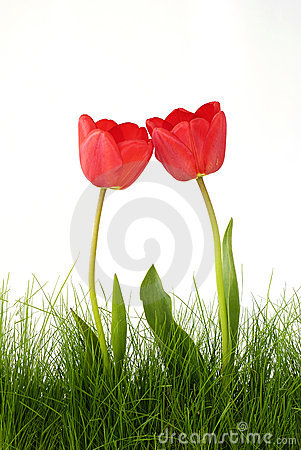 Free Red Tulips Royalty Free Stock Photo - 14074195