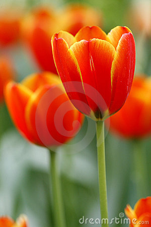 Free Red Tulips Stock Photo - 4912410