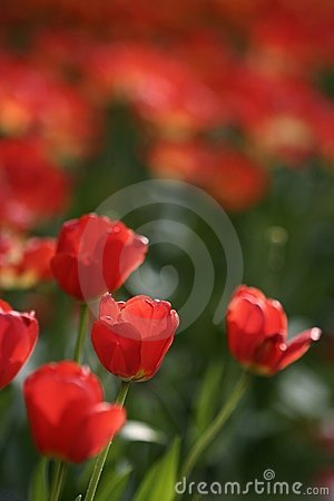 Free Red Tulips Royalty Free Stock Photography - 4929217