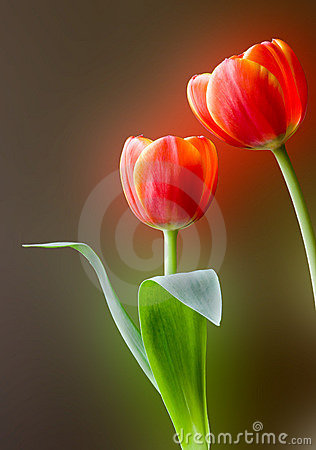 Free Red Tulips Royalty Free Stock Photo - 4997235