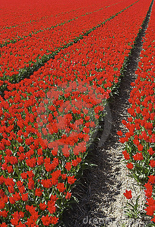 Free Red Tulips Royalty Free Stock Photography - 540457