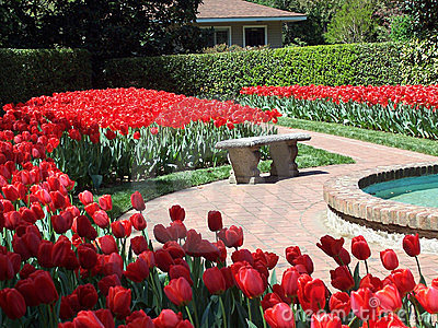 Red tulips and bench