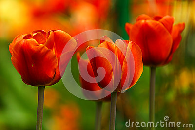 Red Blooming Tulips