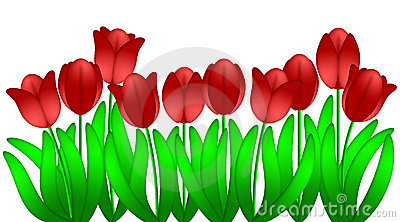Red Tulips Flowers Isolated White Background