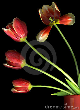 Free Red Tulips On Black Royalty Free Stock Photos - 9913738