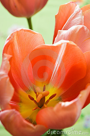 Free Red Tulips On Green Stock Photography - 2589042
