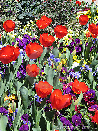 Red Tulips and Pansies
