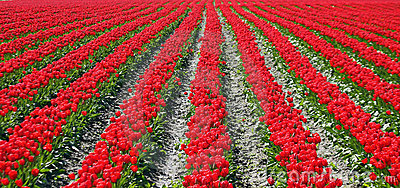 Red Tulips in Parallel Rows