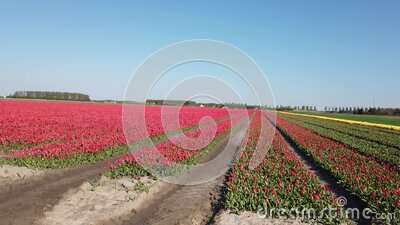 Red tulips in rows on a flower bulb field on the Island Goeree Overflakke. stock video footage