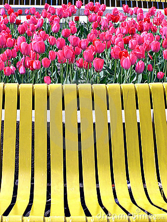 Red tulips and yellow bench