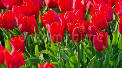 Red tuplips for background. Red tulips in sunny spring day. Seasonal flowers for background stock footage
