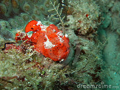 Red ugly frogfish