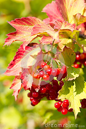 Red Viburnum berries