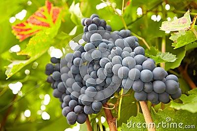 Red vine grapes hanging in vineyard