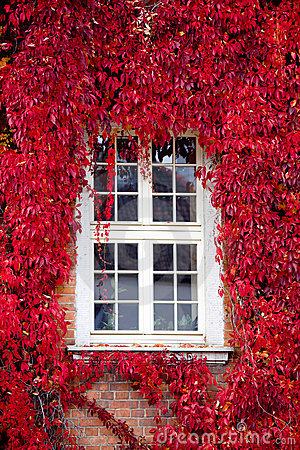 Red Virginia creeper around window