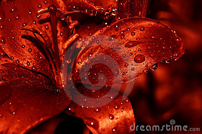 Red water drops lilly