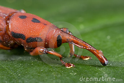 Red weevil/snout beetle