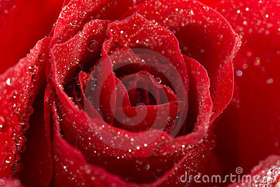 Red wet fresh rose