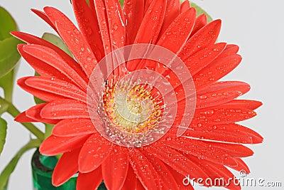Red wet gerber