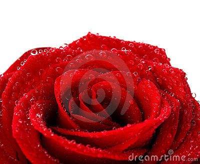 Red wet rose