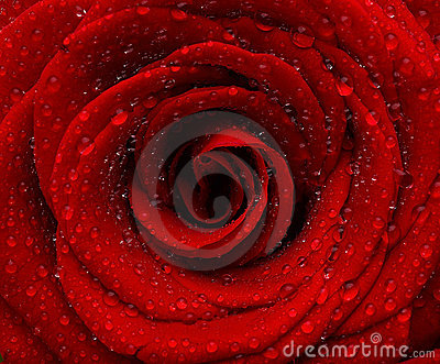 Red wet rose background