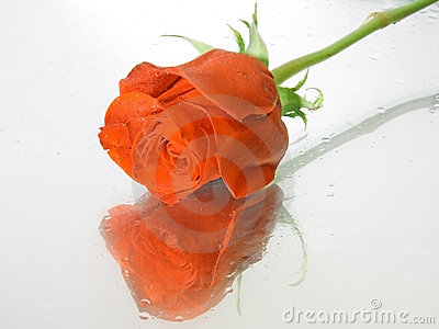 Red wet rose with water drops