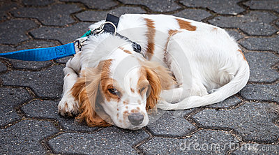 Red White Cocker Spaniel Curled Up with One Eye Open