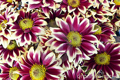 Red and white daisy
