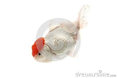 Red and White Goldfish