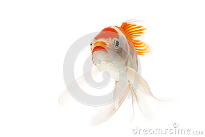 Red and white koi fish royalty free stock images image for Red and white koi