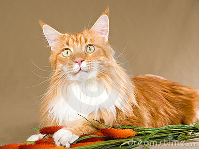 Red with white Maine Coon on khaki background
