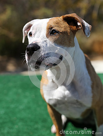 Red and White Pitbull posing for her head shot